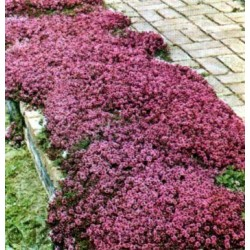 Thymus praecox Red Carpet G-9