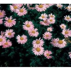 Tanacetum cocineum Robinson Roseum