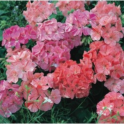 Pelargonium zonale Ripple mix