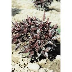 Ocimum basilicum Osmin