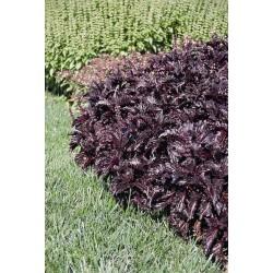 Ocimum basilicum Purple Ruffles