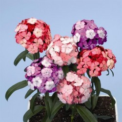 Dianthus barbatus Noverna F1 Clown