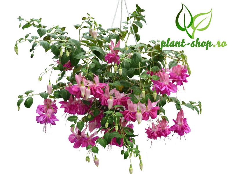 Fuchsia crescuta in pepiniera plant-shop.ro