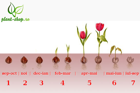 Tulipa stages