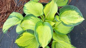 Hosta Great Expectation