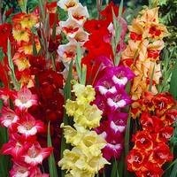 Gladiole bulbi - Gladiolus