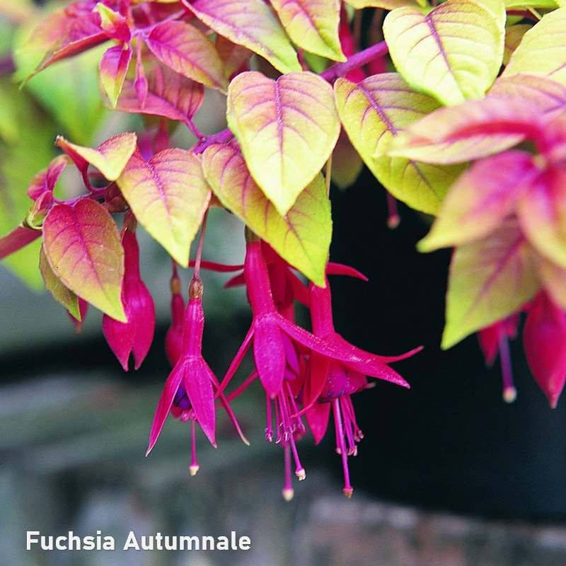 Fuchsia Autumnale G-9