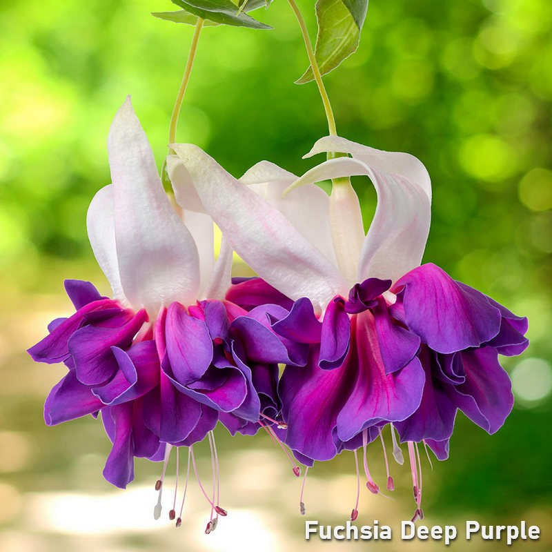 Fuchsia Deep Purple G-9