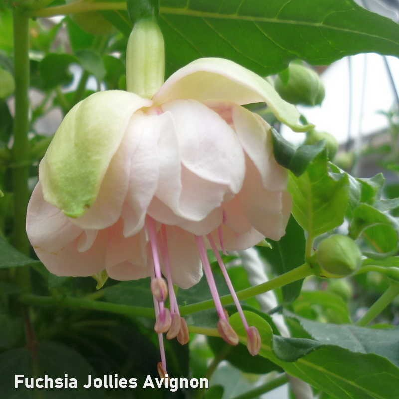 Fuchsia Jollies Avignon G-9