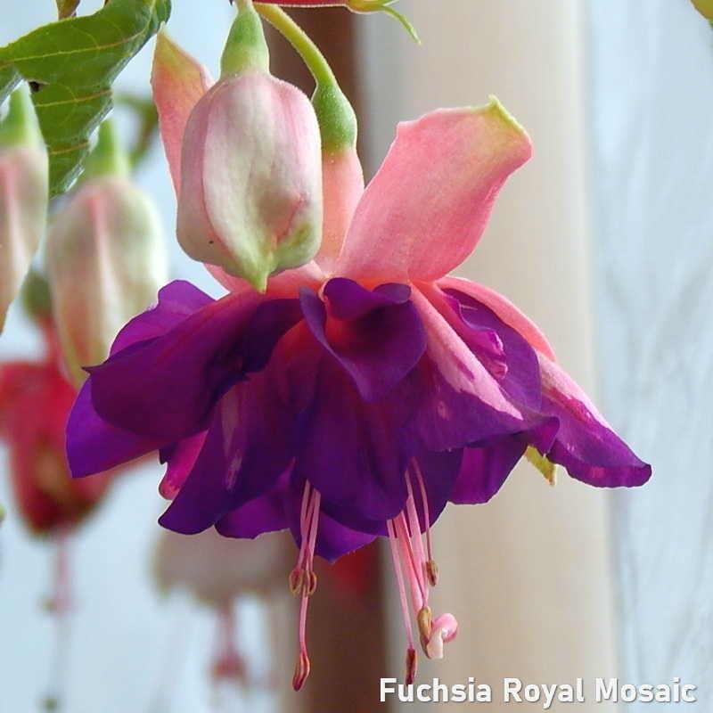 Fuchsia Royal Mosaic G-9