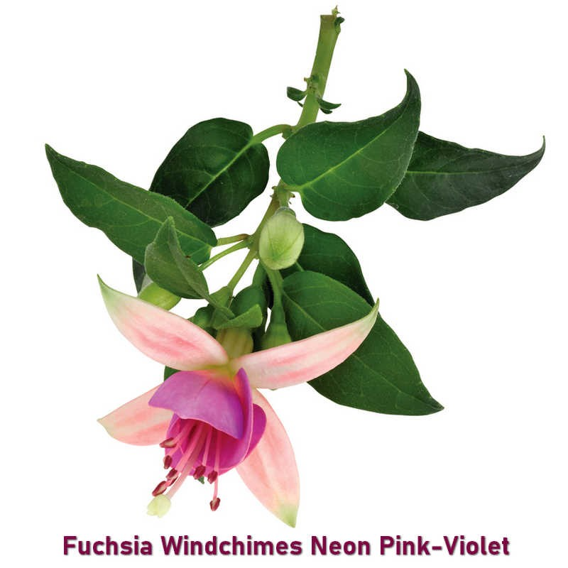 Fuchsia Windchimes Neon Pink Violet G-9