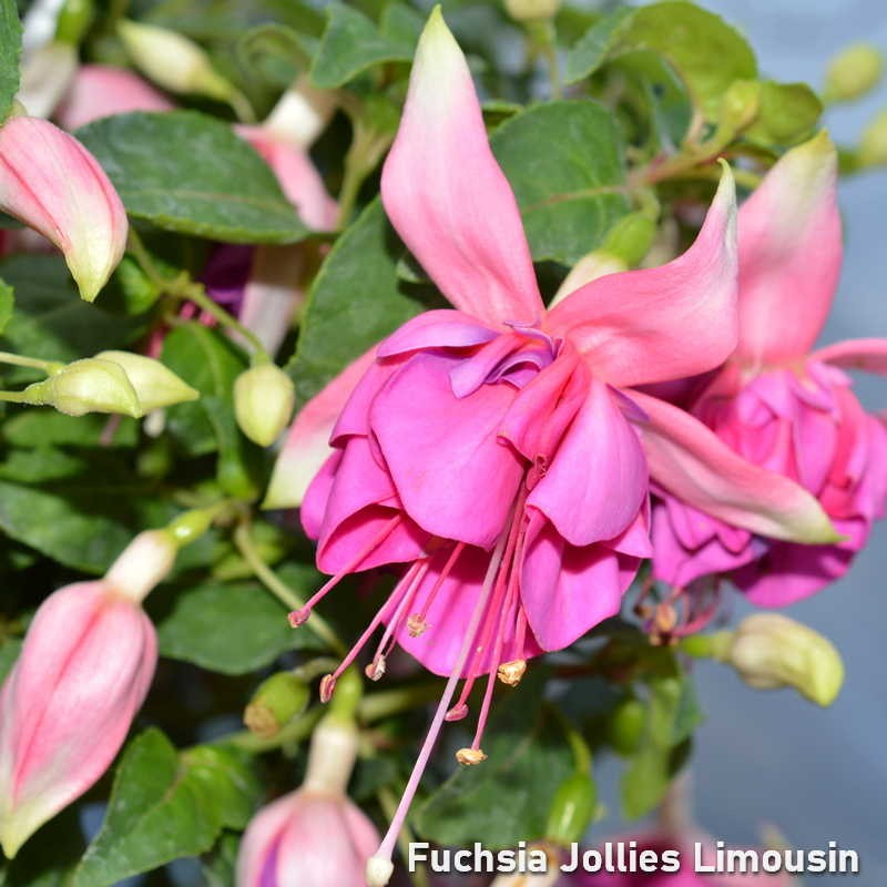 Fuchsia Jollies Limousin G-9