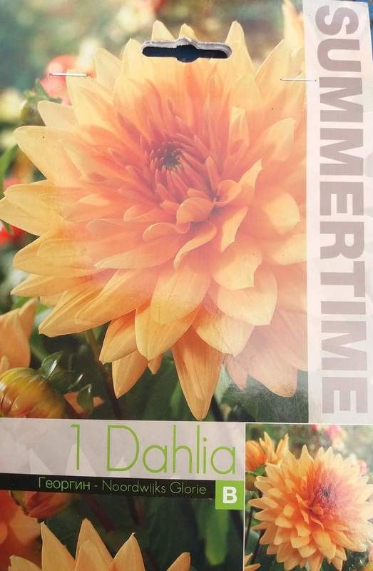 Bulbi de dalii - Dahlia decorative Noordwijks Glorie - 1 bulb