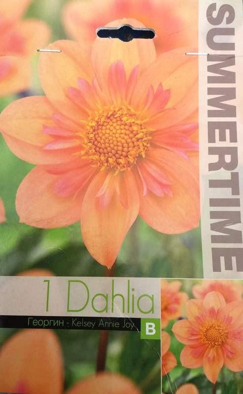 Bulbi de dalii - Dahlia Various Kelsey Annie Joy - 1 bulb