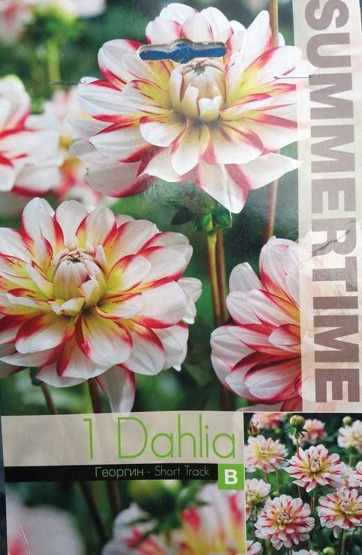 Bulbi de dalii - Dahlia decorative Short Truck - 1 bulb