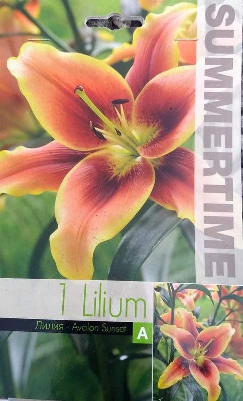Lilium oriental trumpet Avalon Sunset - 1 bulb