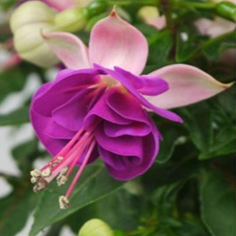 Fuchsia Jollies Valence G-9