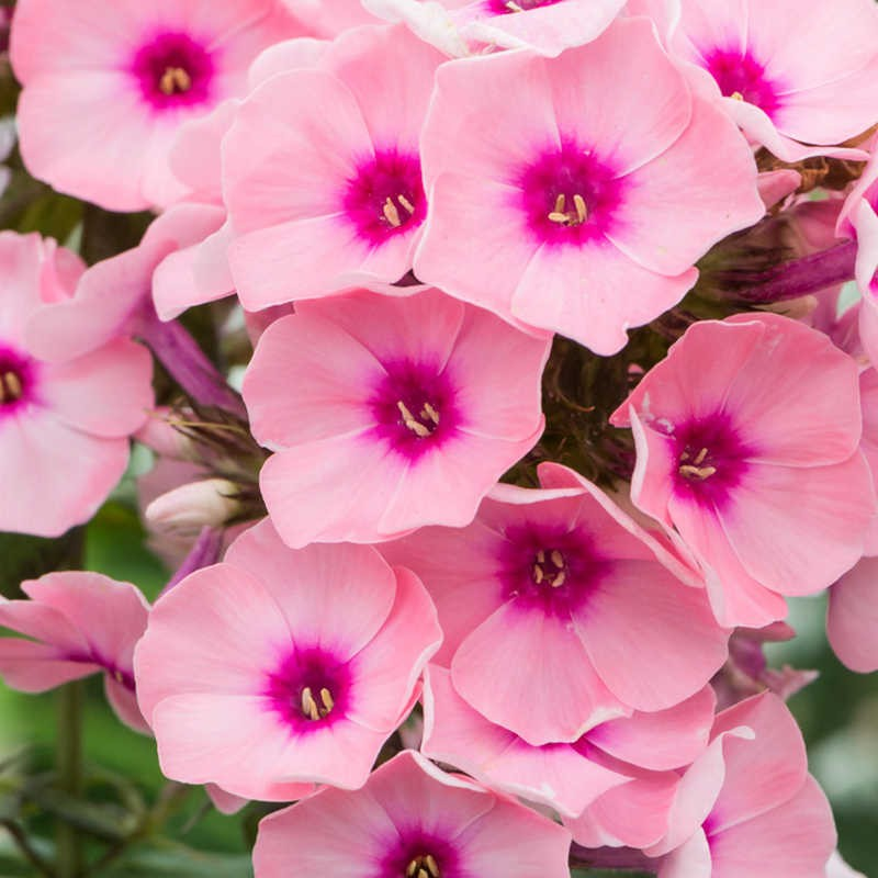 Phlox paniculata Famous Pink-Eye G-9