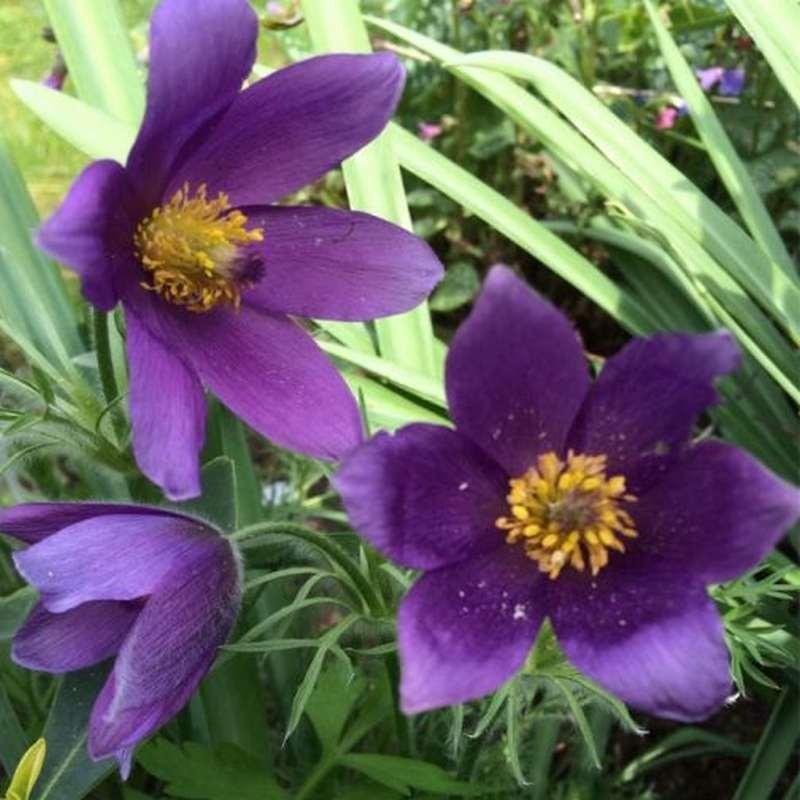 Pulsatilla vulgaris Pulsar Violet G-9