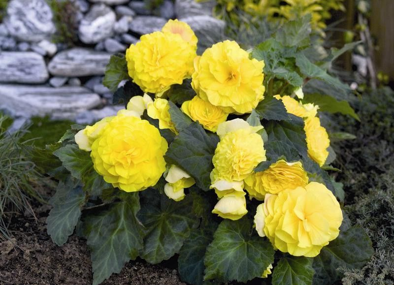 Begonia tuberhybrida Go Early Yellow G-9