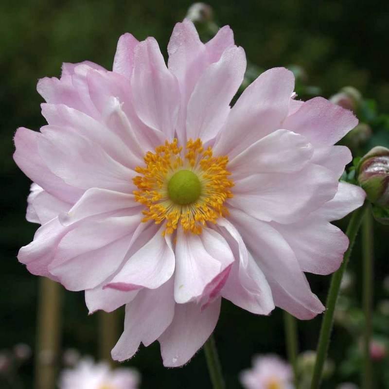 Anemone Monte-Rose G-9
