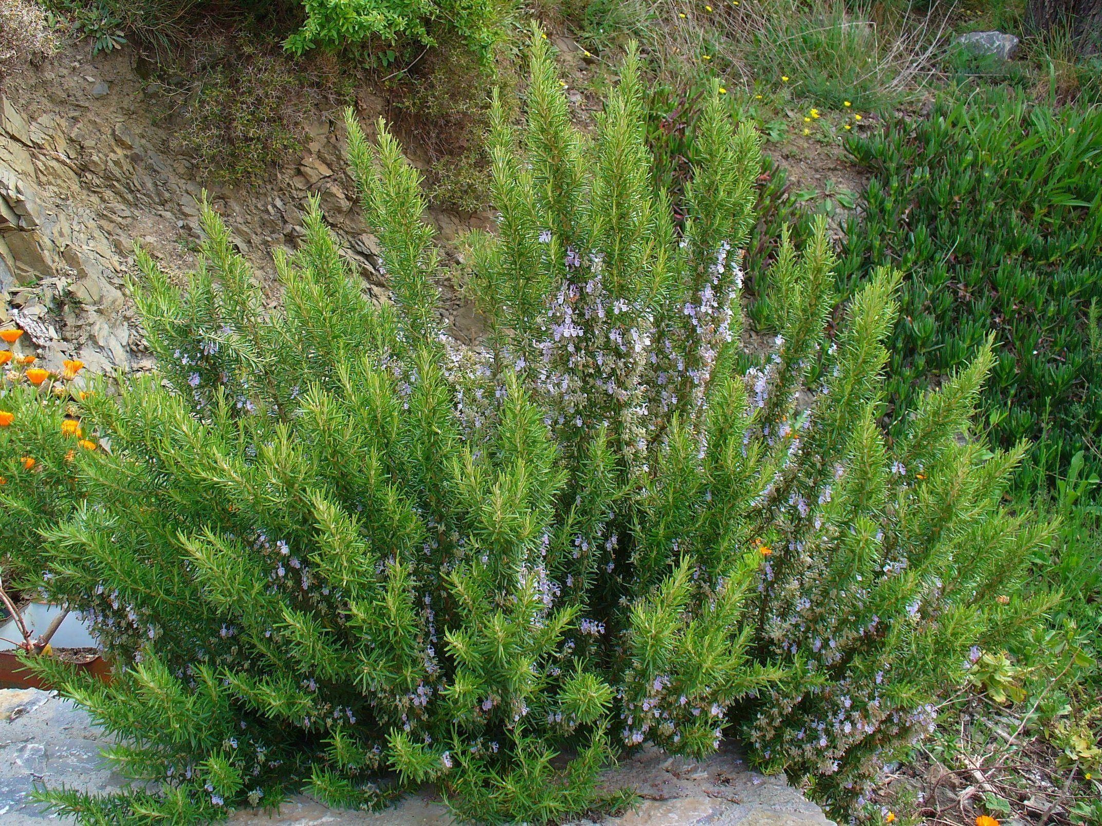 Rosmarinus officinalis Blue Winter G-9