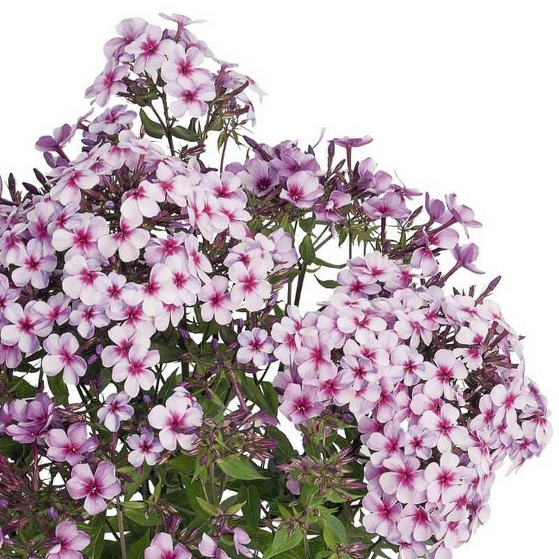 Phlox paniculata Early Purple Pink Eye G-9