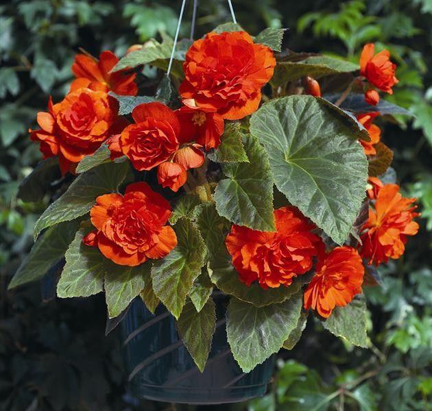 Begonia tuberhybrida Go Early Orange G-9