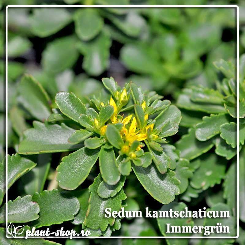 Sedum kamtschaticum Immergrun G-9
