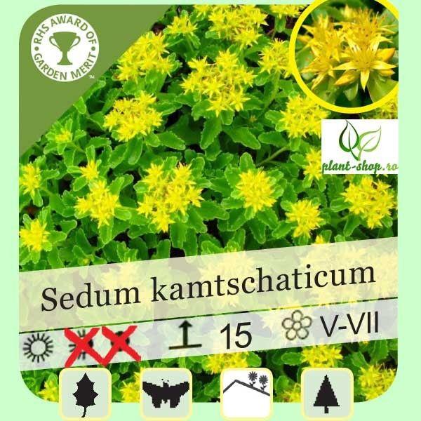 Sedum kamtschaticum G-7