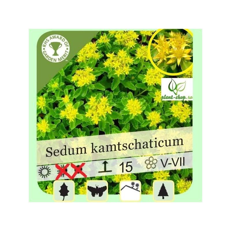Sedum kamtschaticum G-9