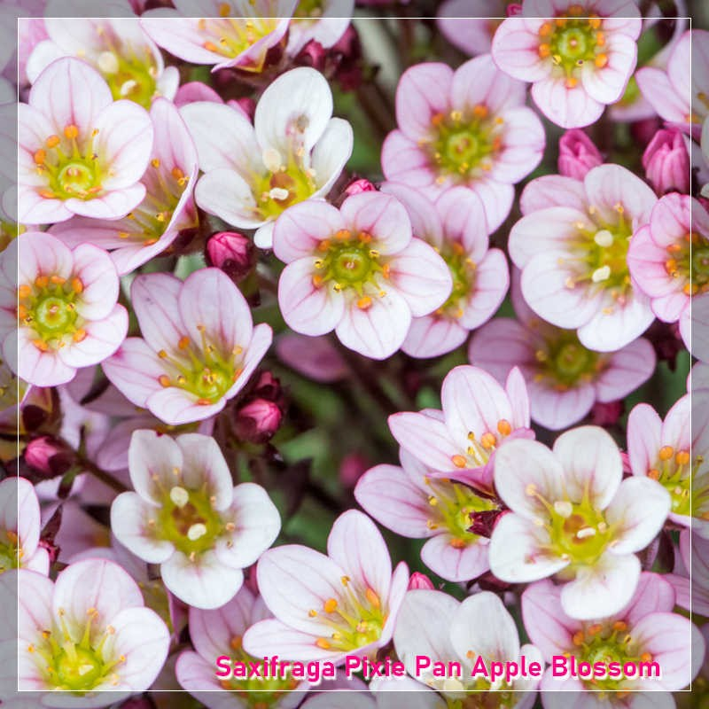 Saxifraga x arendsii Pixie Pan Apple Blossom G-9