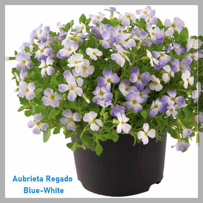 Aubrieta hybrida Regado Blue-White G-9