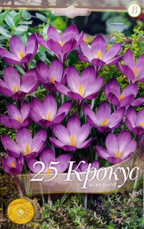 Bulbi de branduse - Crocus botanical Ruby Giant - 25 bulbi