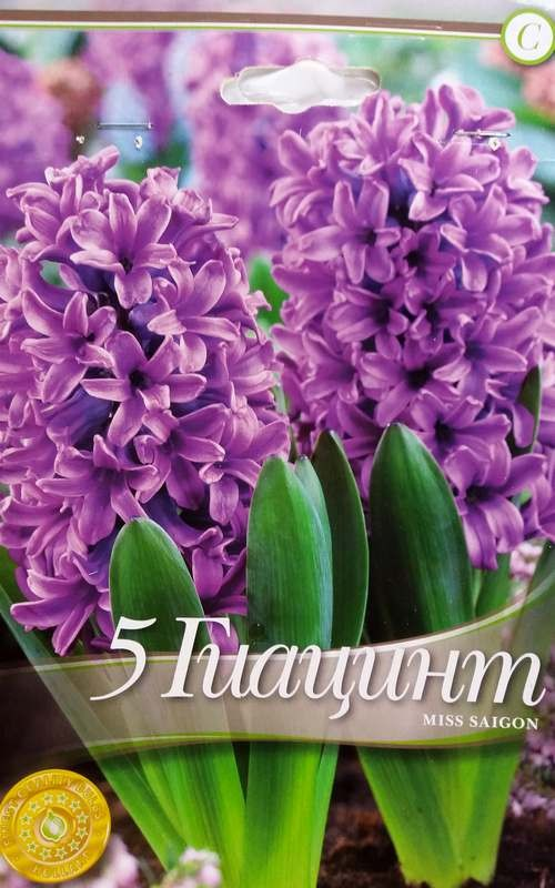 Bulbi de zambile - Hyacinthus Miss Saigon - 5 bulbi