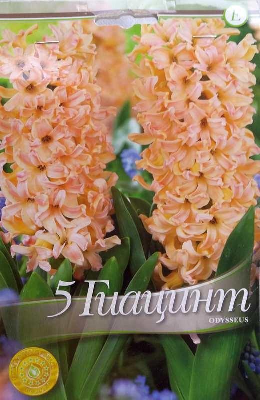 Bulbi de zambile - Hyacinthus Odysseus - 5 bulbi