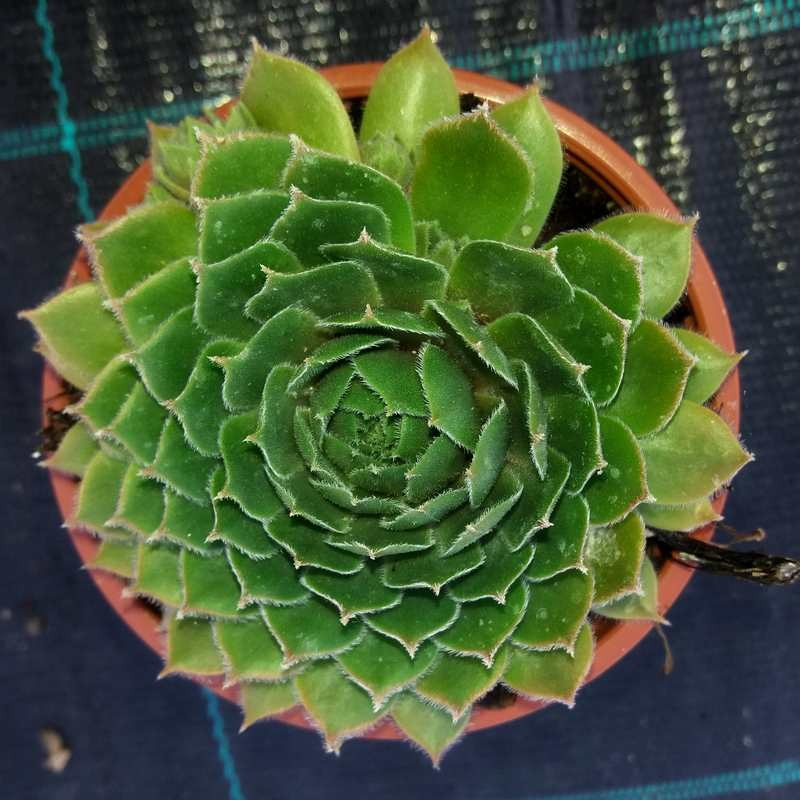 Sempervivum Commander Hay G-9