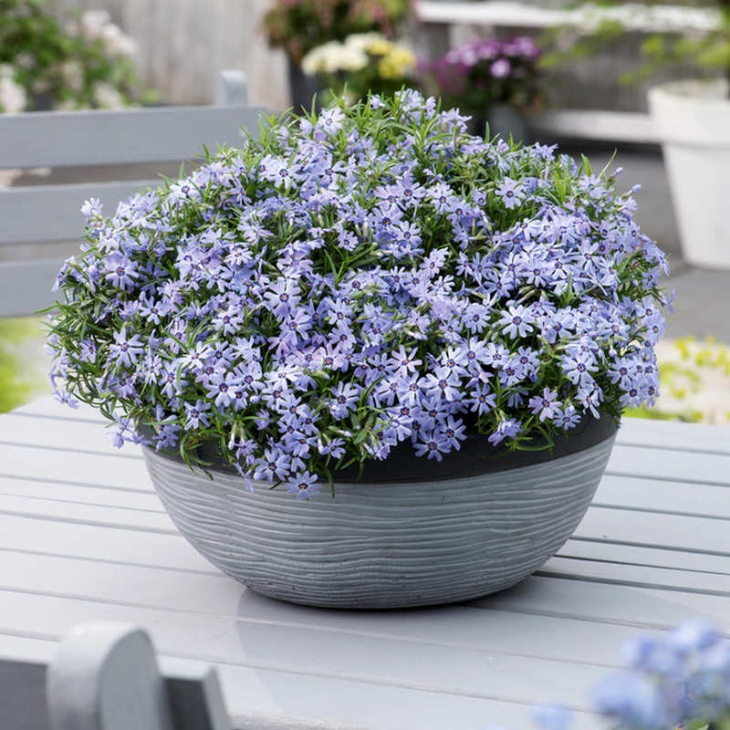 Phlox subulata Fabulous Blue Dark Center G-9