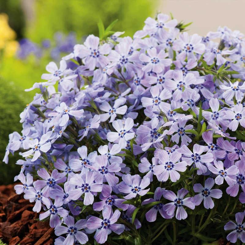 Phlox subulata Fabulous Blue Violet G-9