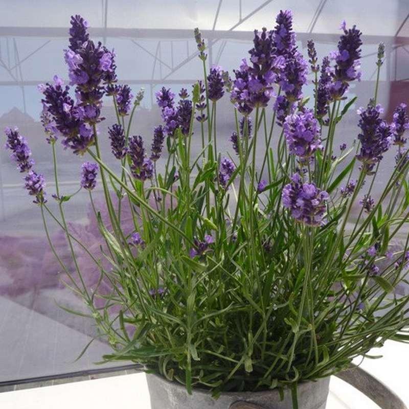 Lavandula angustifolia Forever Violet G-9