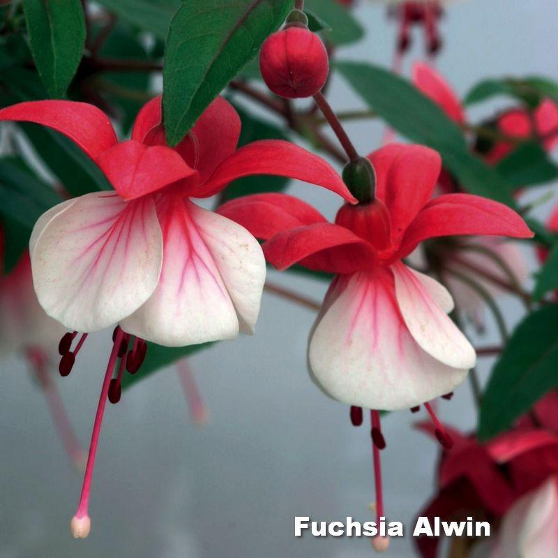 Fuchsia Alwin G-9