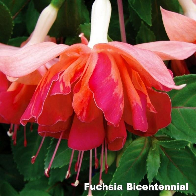 Fuchsia Bicentennial G-9