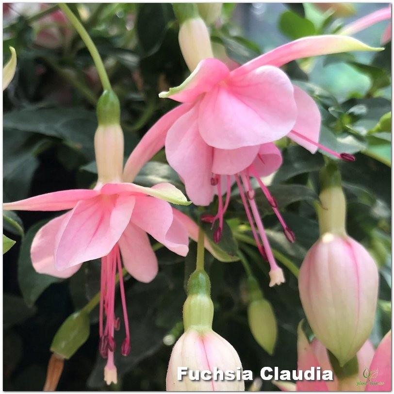 Fuchsia Claudia G-9