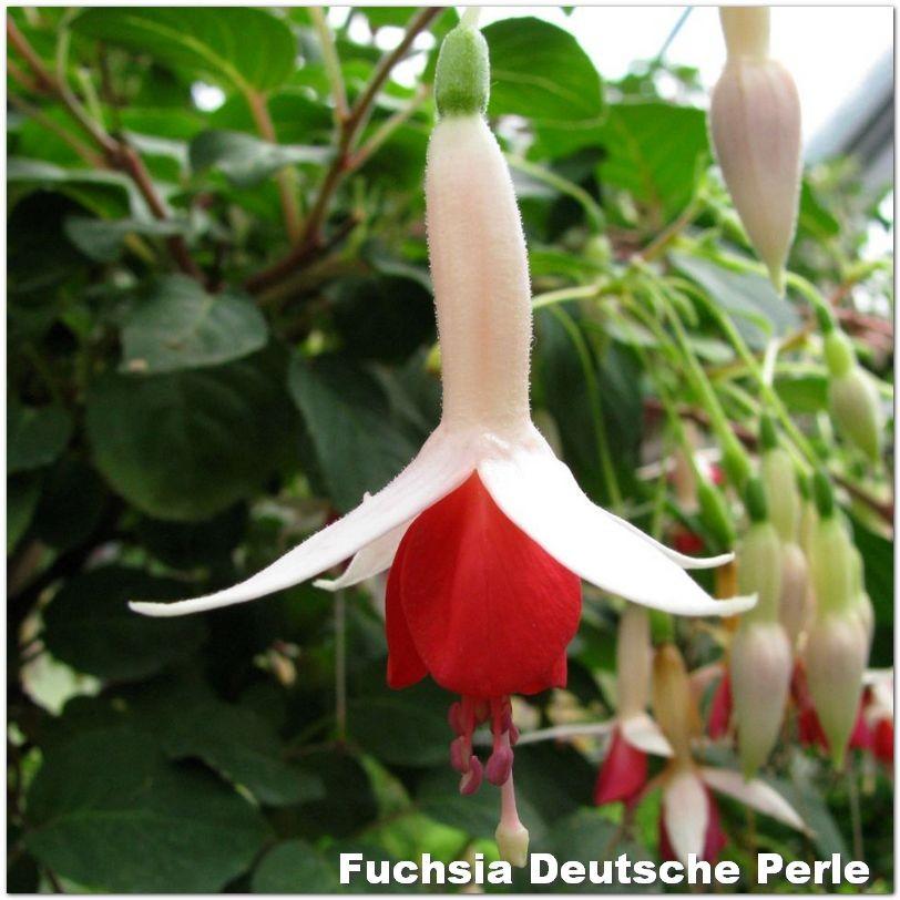 Fuchsia Deutsche Perle G-9