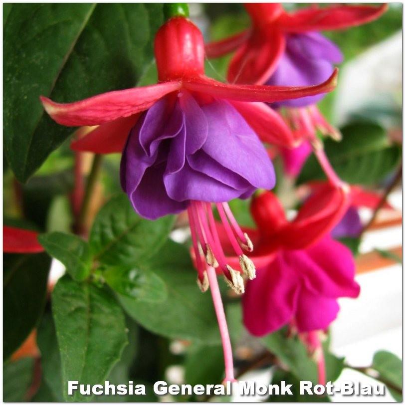Fuchsia General Monk Rot-Blau G-9