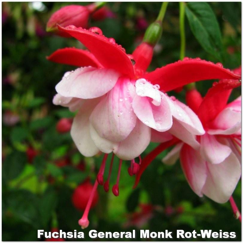 Fuchsia General Monk Rot-Weiss G-9