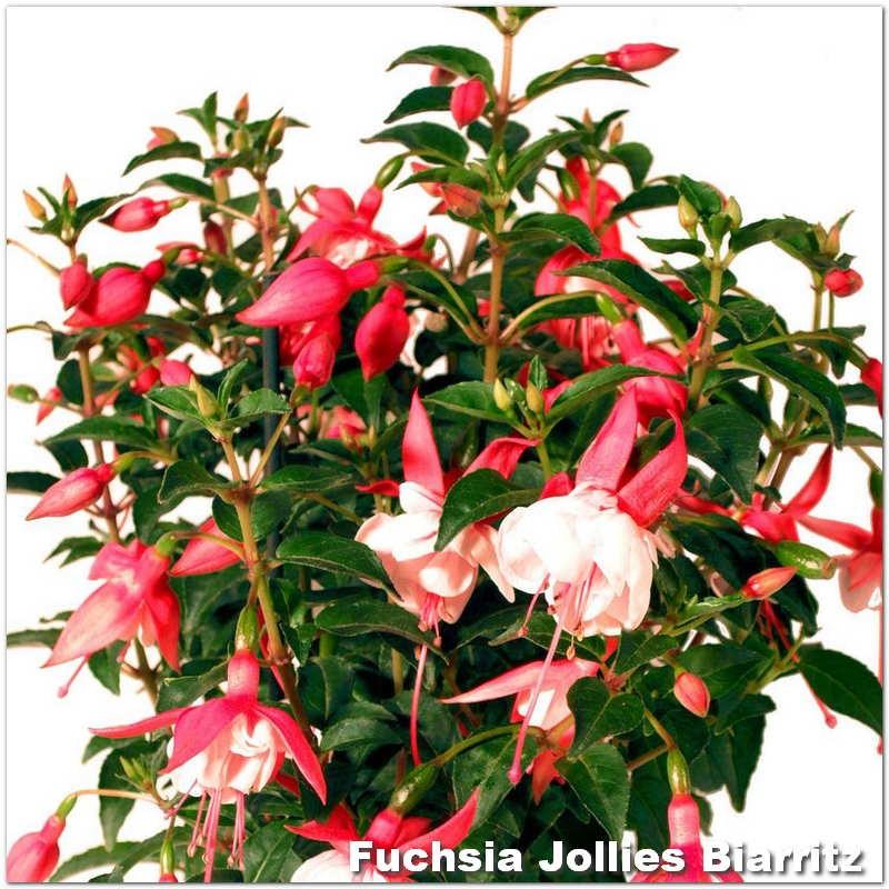 Fuchsia Jollies Biarritz G-9