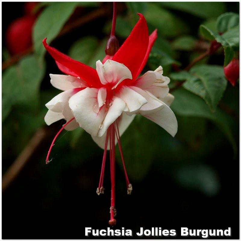 Fuchsia Jollies Burgund G-9