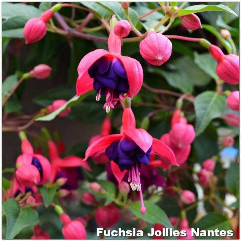 Fuchsia Jollies Nantes G-9