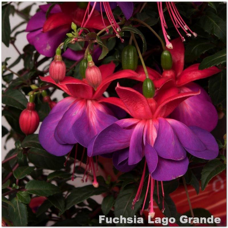Fuchsia Lago Grande G-9